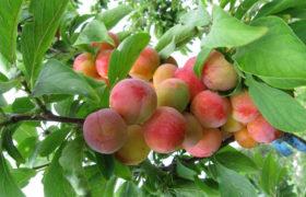 Слива и абрикос